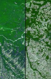 Dense green vegetation gives way to pale fields in these satellite images of deforestation in Brazil's Amazon rainforest. This image is from NASA's Terra satellite.