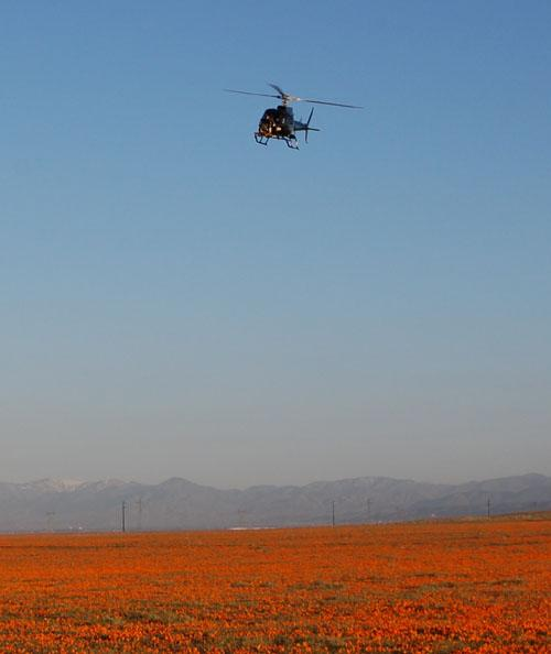 This image, taken April 9, 2010, shows a helicopter carrying an engineering test model of the landing radar for NASA's Mars Science Laboratory over a patch of desert with abundant California poppies.